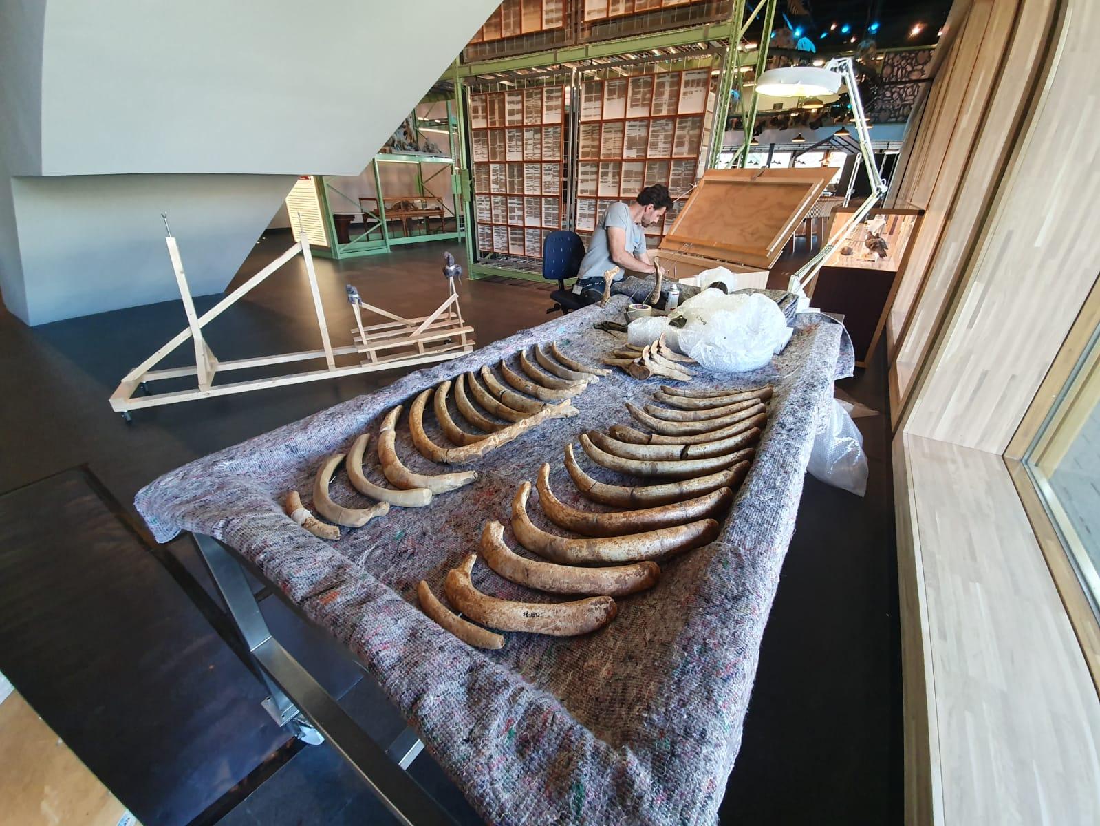 Fossielen & Dinosauriërs | Restauratie fossiele Zeekoe (tijdens restauratie) | Naturalis Biodiversity Center