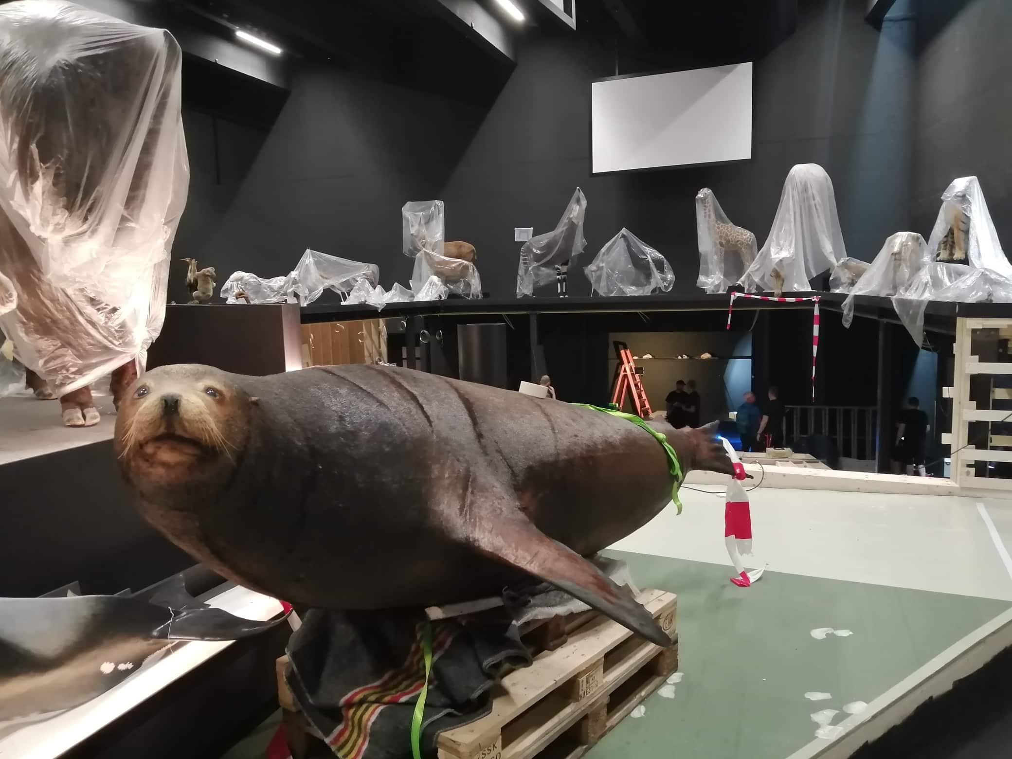 restauratie en ophangen van zeeleeuw | Naturalis Biodiversity Center