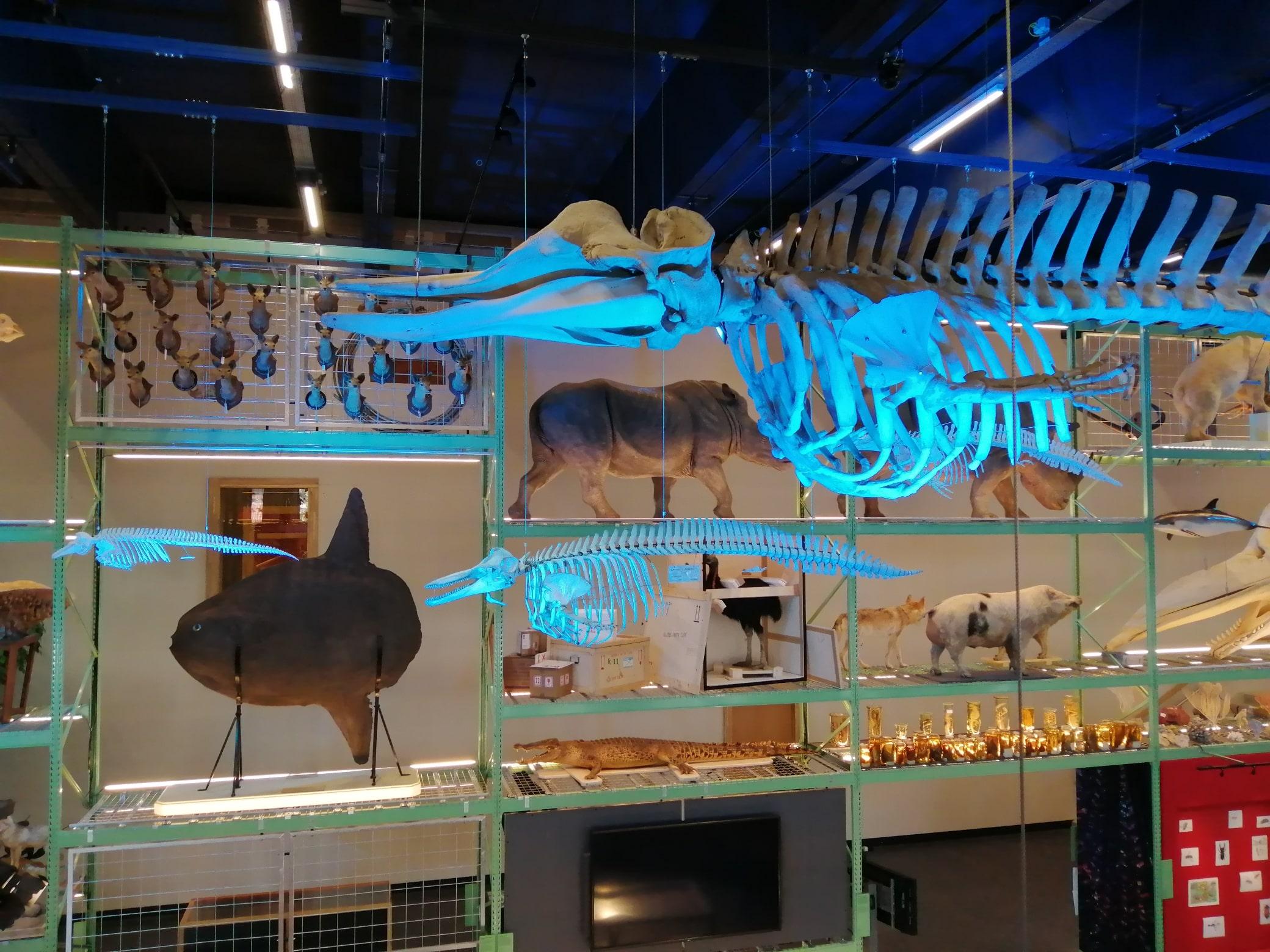 Skeletten | oplevering bruinvis, dolfijn en butskop skelet  | Live Science - Naturalis Biodiversity Center