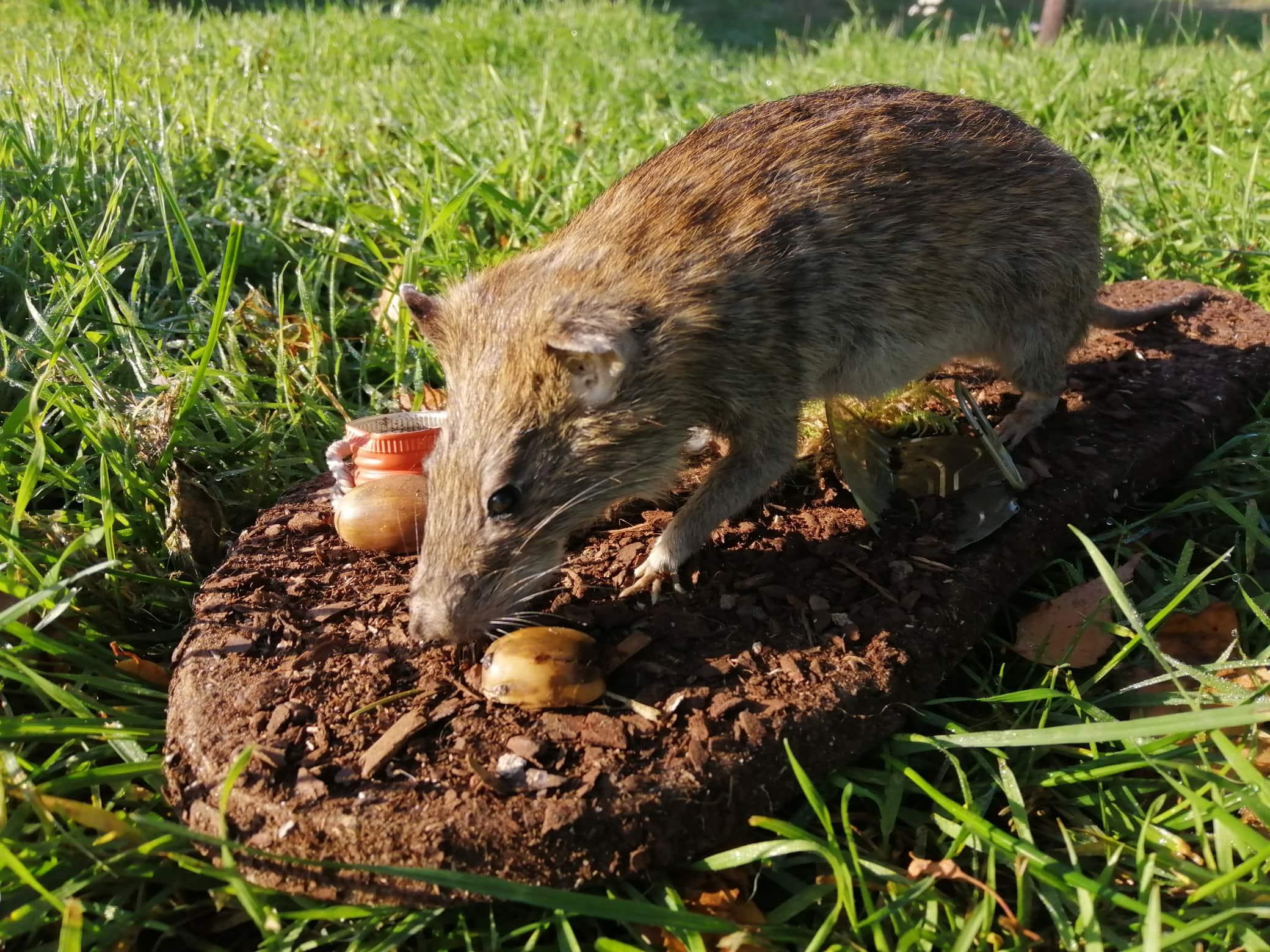 Huidpreparaten | Bruine rat | Veenhuis Ongediertebestrijding