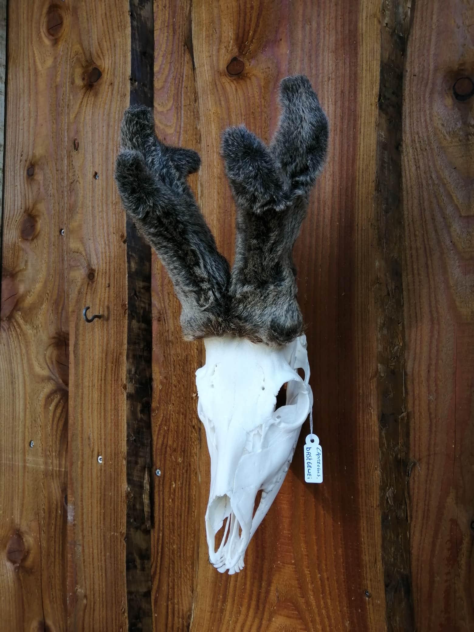 Skeletten | Schedel ree met bastgewei | Natuurmonumenten
