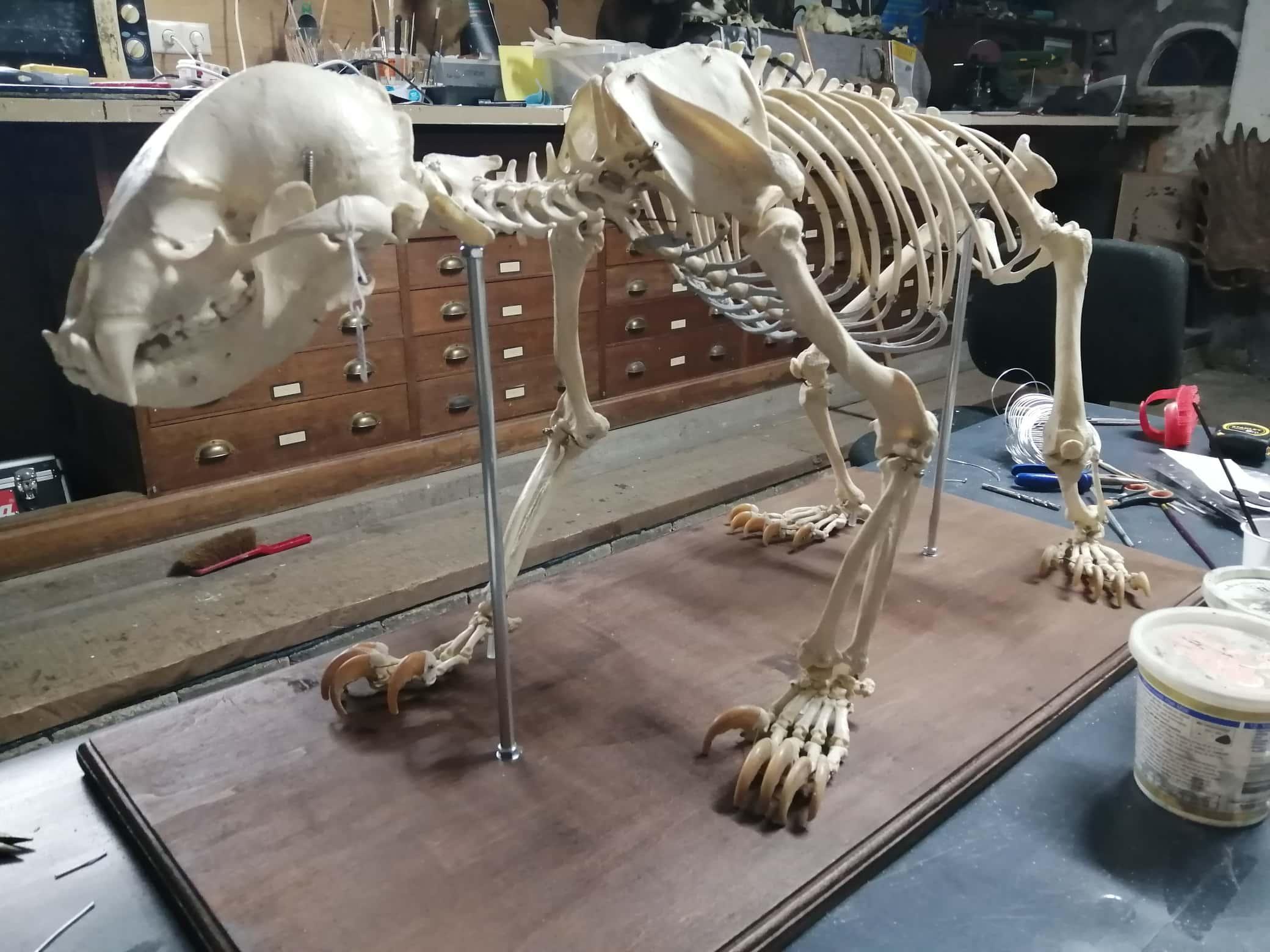 Skeletten | Restauratie skelet Maleise Beer | Douane Schiphol