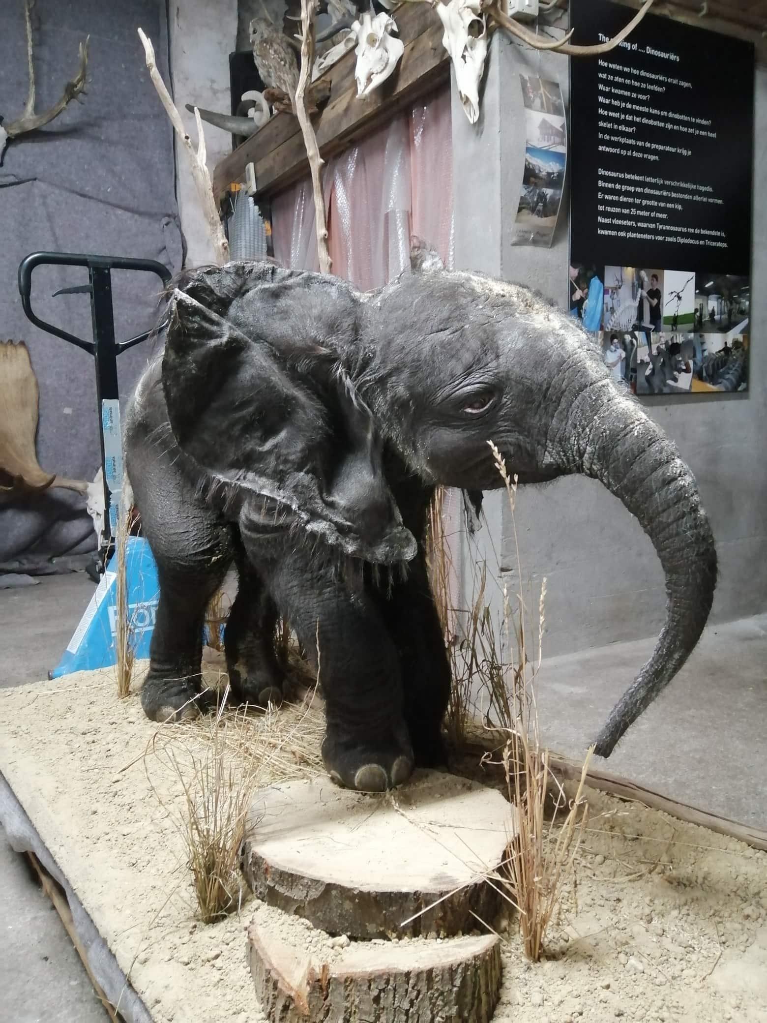 Huidpreparaten | Afrikaanse olifantenkalf | Ouwehand ZOO