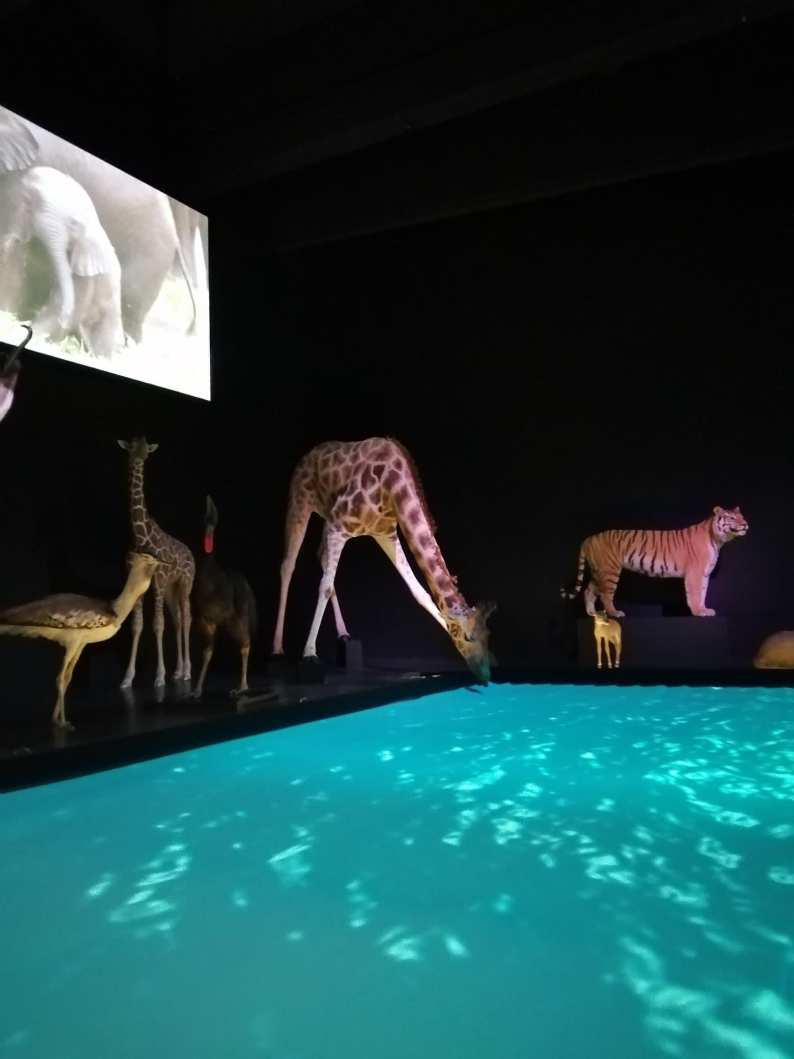 Huidpreparaten | drinkende giraffe III | Naturalis Biodiversity Center