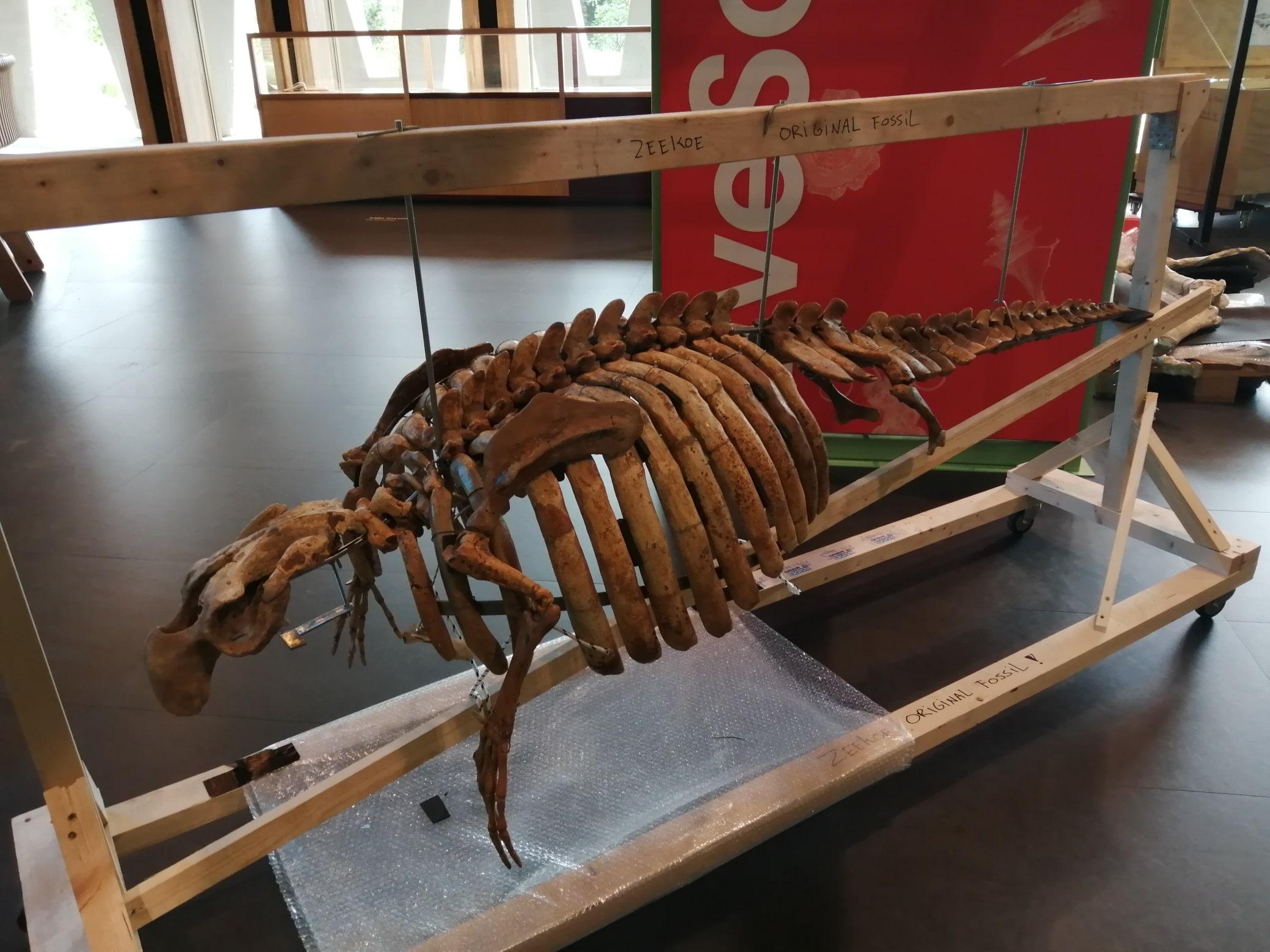 Fossielen & Dinosauriërs | Restauratie en montage fossiele Zeekoe (na restauratie) | Naturalis Biodiversity Center