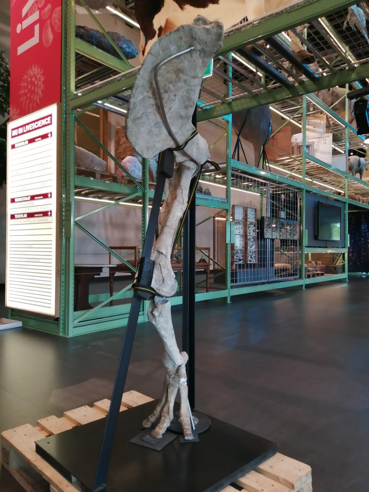 Fossielen & Dinosauriërs | restauratie en fixatie achterpoot Bronthotherium | Naturalis Biodiversity Center