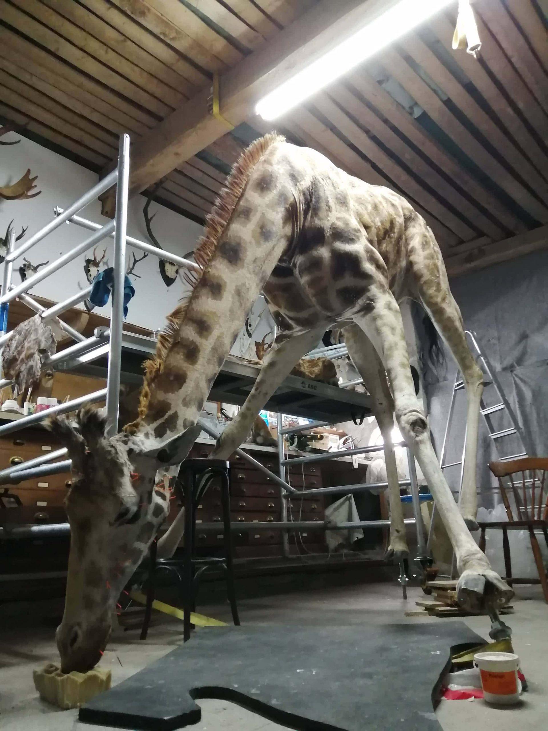 Huidpreparaten | drinkende giraffe I | Naturalis Biodiversity Center
