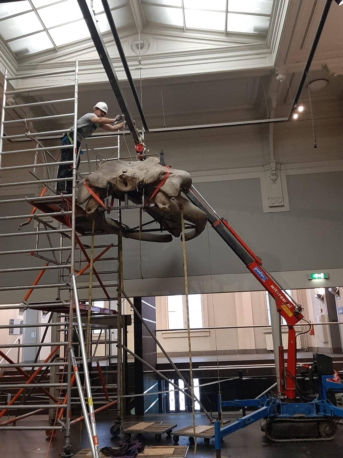 Skeletten |  uithuizing vinvis - demontage schedel | Artis Amsterdam Zoo