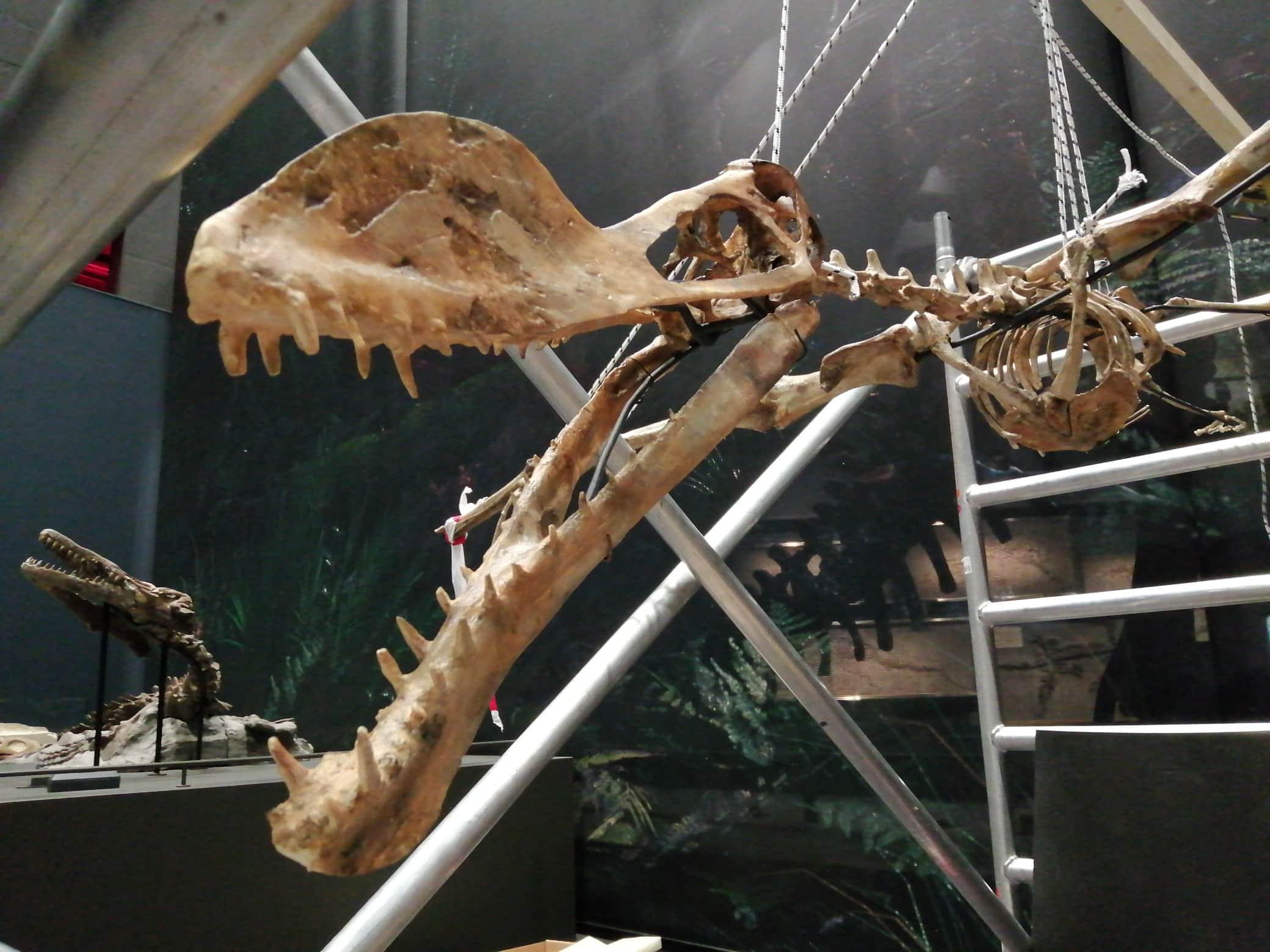Fossielen & Dinosauriërs | restauratie en montage skelet Coloborhynchus | Dinozaal - Naturalis Biodiversity Center