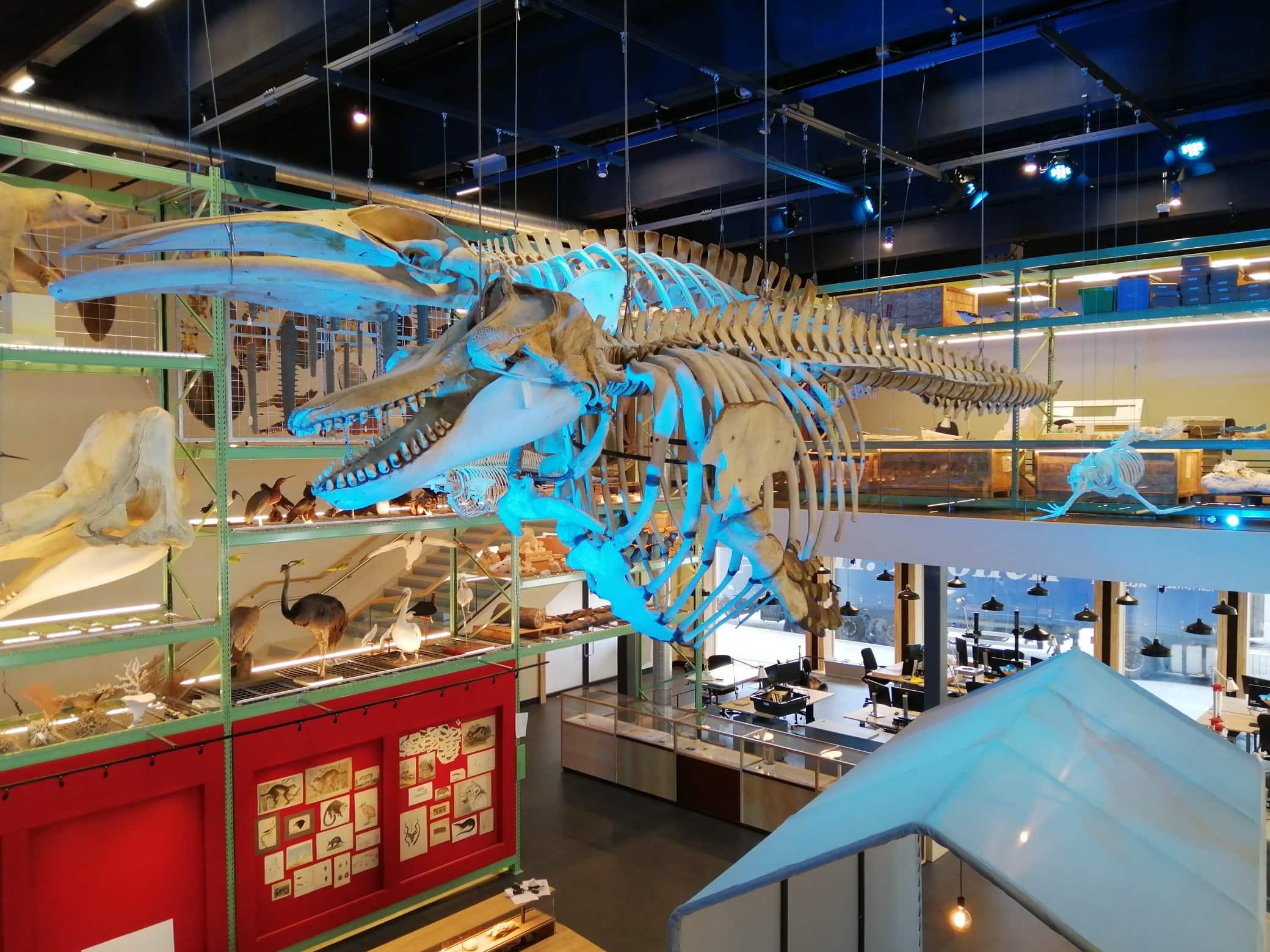 Skeletten | oplevering skelet Orca en Noordse vinvis | Live Science - Naturalis Biodiversity Center
