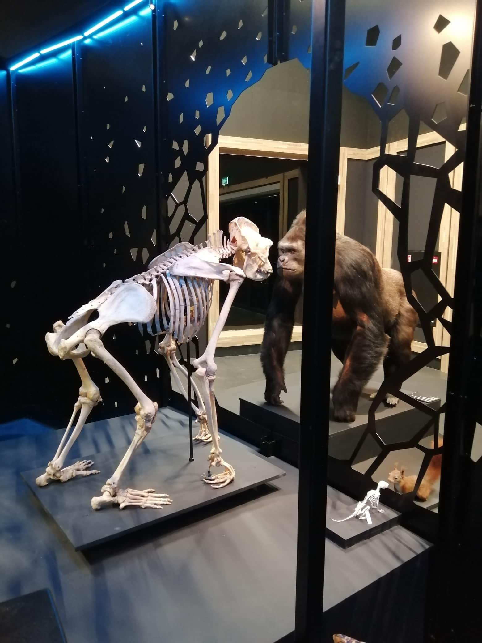 Skeletten |  montage skelet gorilla | zaal Dood - Naturalis Biodiversity Center
